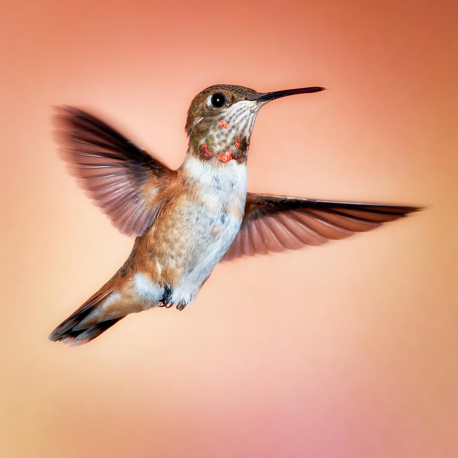 Rambunctious Rufous by Scott Bourne