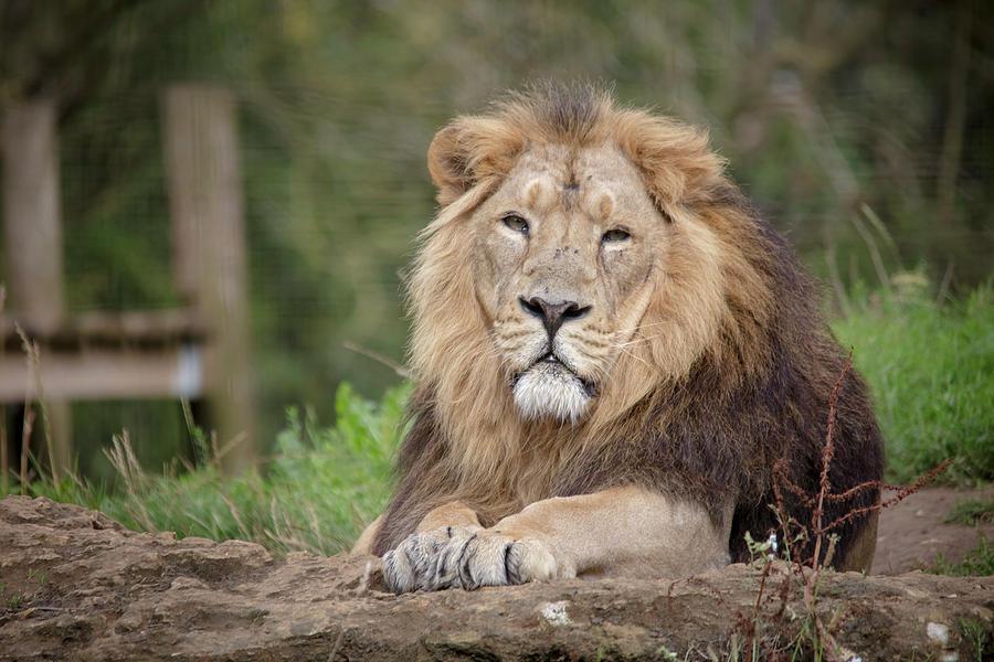 Rana - Asiatic Lion by Cheltenham Media