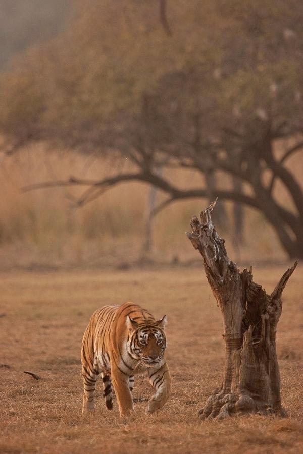 Ranthambore Tiger Stalking Photograph by Aditya Singh