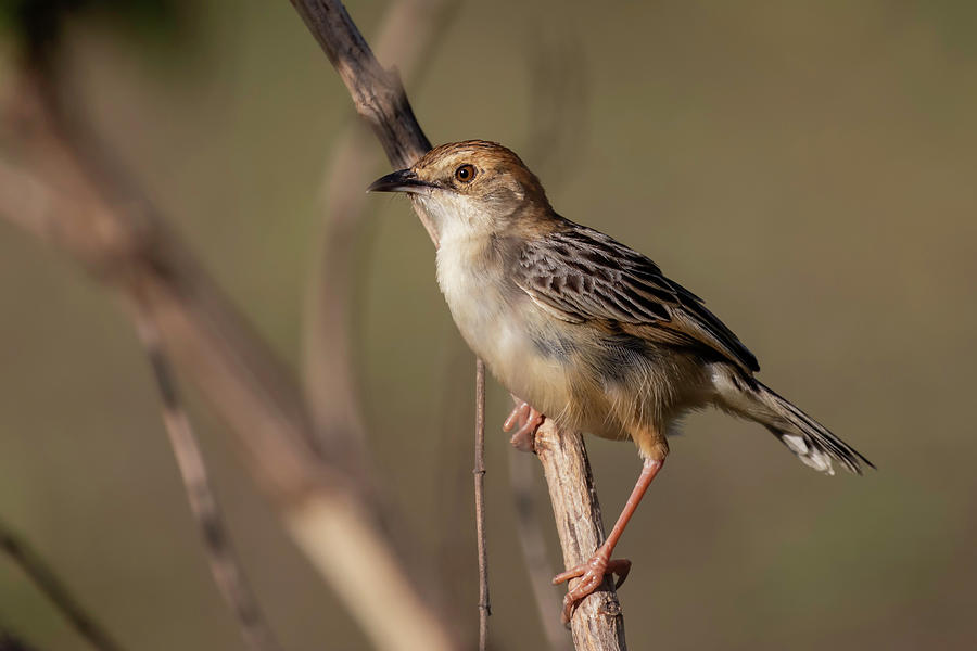 Rattling Photograph - Rattling Cisticola by Thomas Kallmeyer