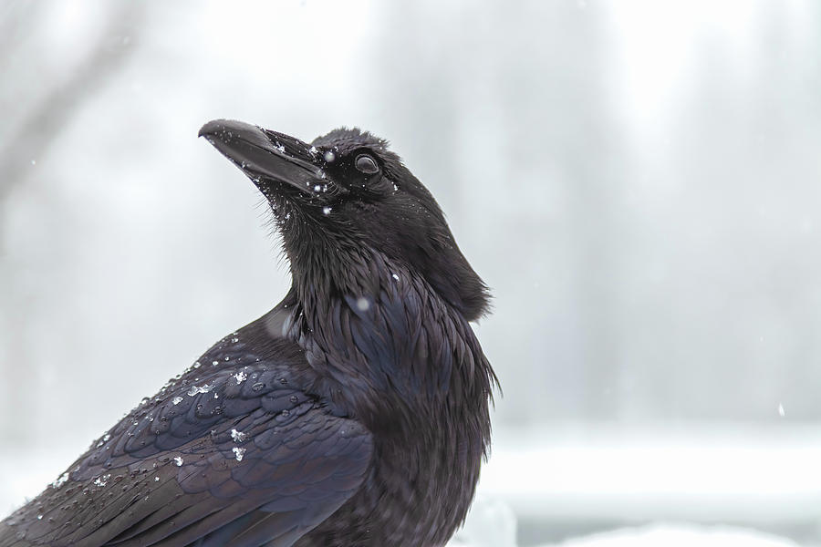 raven in snow by Jonathan Nguyen