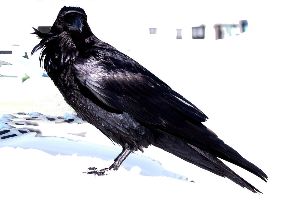 Raven In Snow by Marie Jamieson