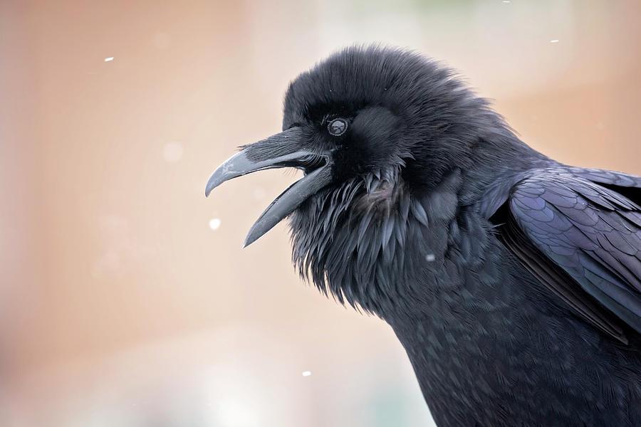 Raven Talk by Eilish Palmer