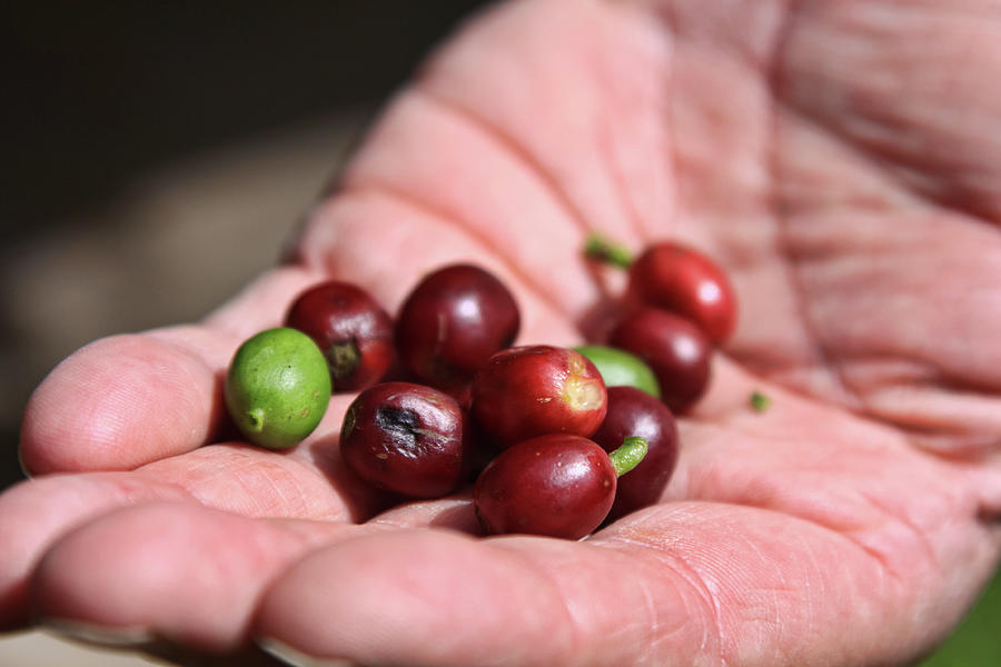 Raw coffee beans in Boquete, Panama by Tatiana Travelways