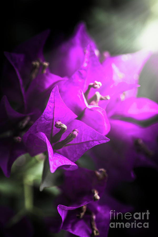 Flower Photograph - Rays Of Bougainvillea by Jorgo Photography - Wall Art Gallery