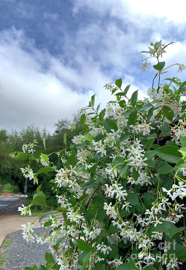 White Flowers Photograph - Reaching For the Light by Felipe Adan Lerma