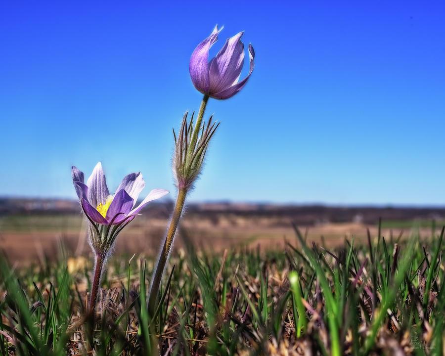Reaching for the Sky -  Spring Prairie Crocus / Pasque Flower in south Wisconsin prairie by Peter Herman