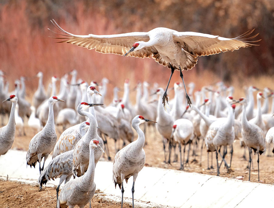 Ready or not, here I come -- Sandhill Cranes by Judi Dressler
