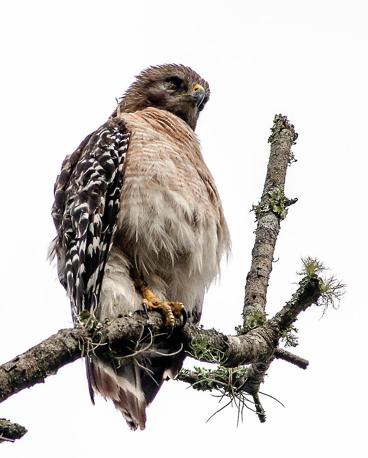 Red Shouldered Hawk Photograph - Really by Norman Johnson