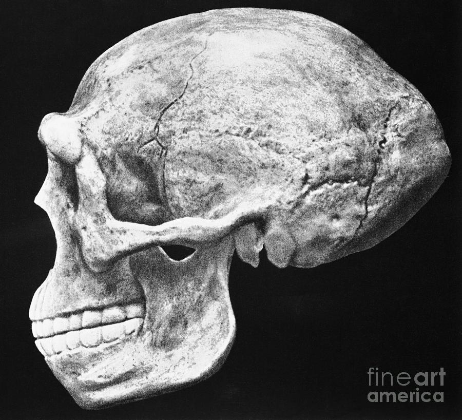 Reconstructed Skull Of Prehistoric Man Photograph by Bettmann