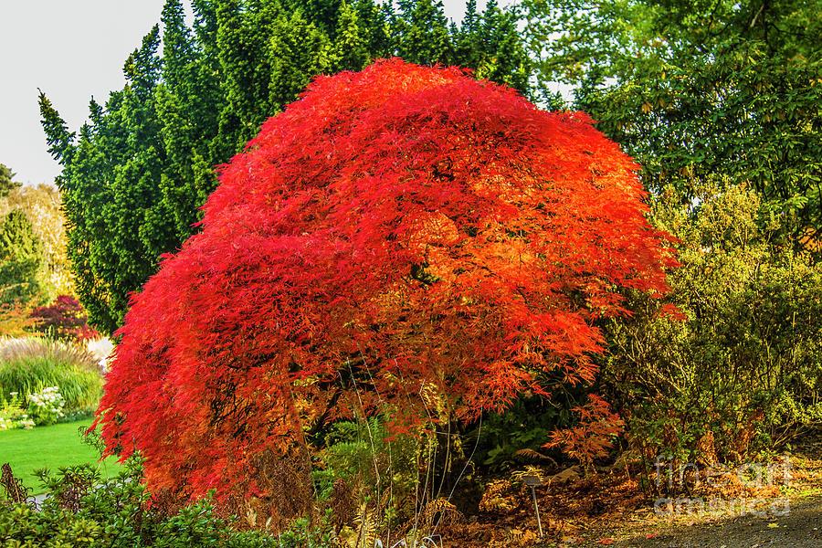 Red Acer Tree by Sandra Cockayne ADPS