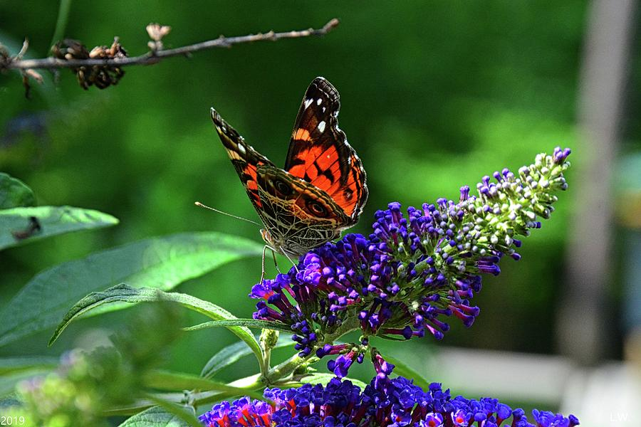 Red Admiral Butterfly 2 by Lisa Wooten