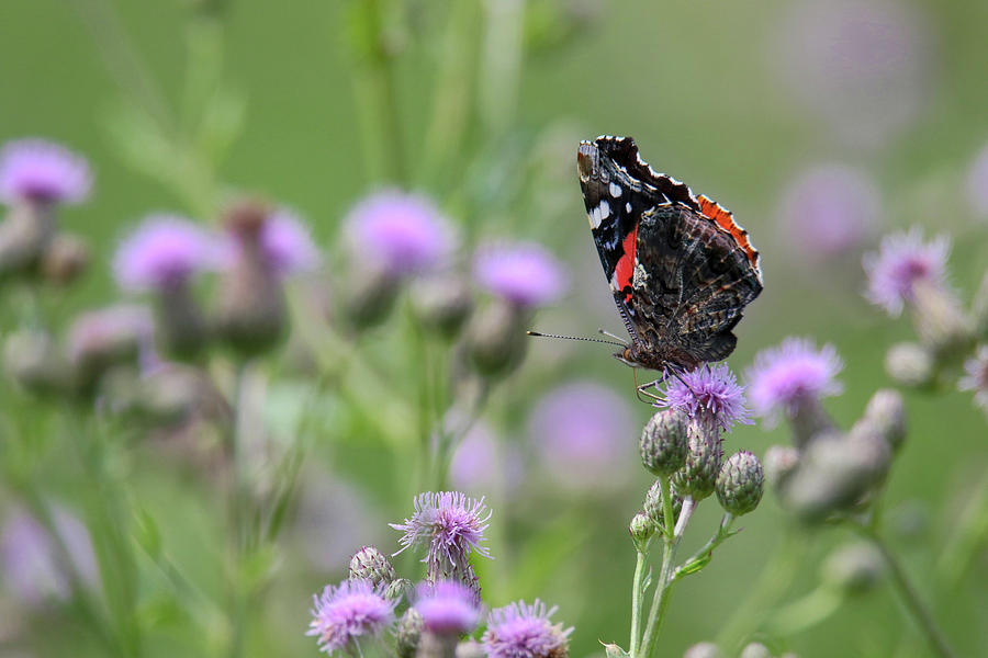 Red Admiral Butterfly by Brook Burling