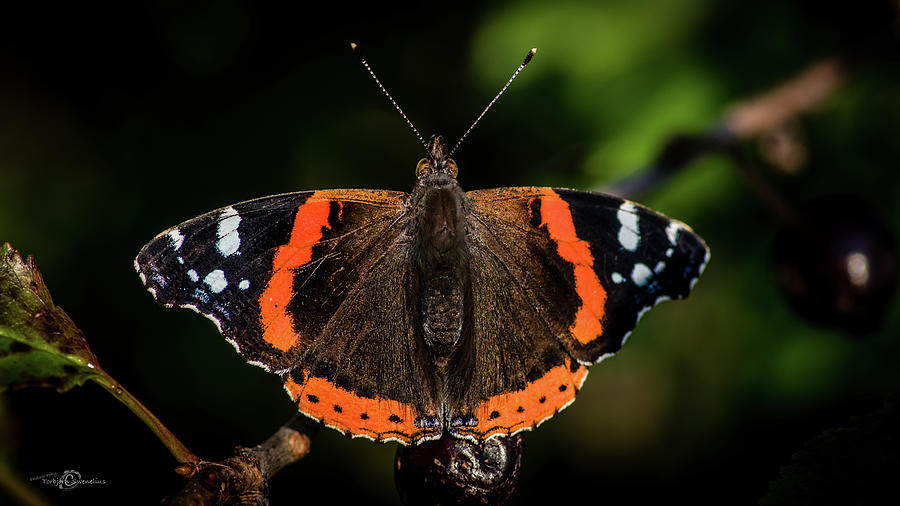 Red Admiral Butterfly in the cherry tree by Torbjorn Swenelius