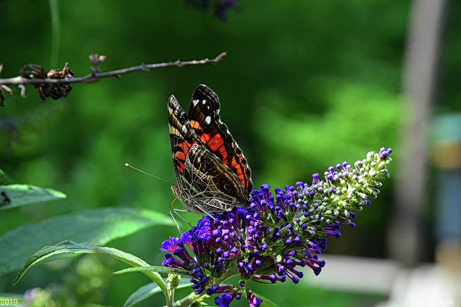 Red Admiral Butterfly by Lisa Wooten