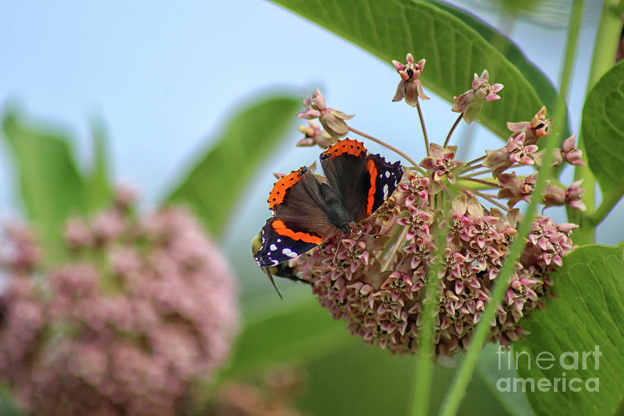 Butterfly Photograph - Red Admiral Butterfly On Milkweed by Karen Adams