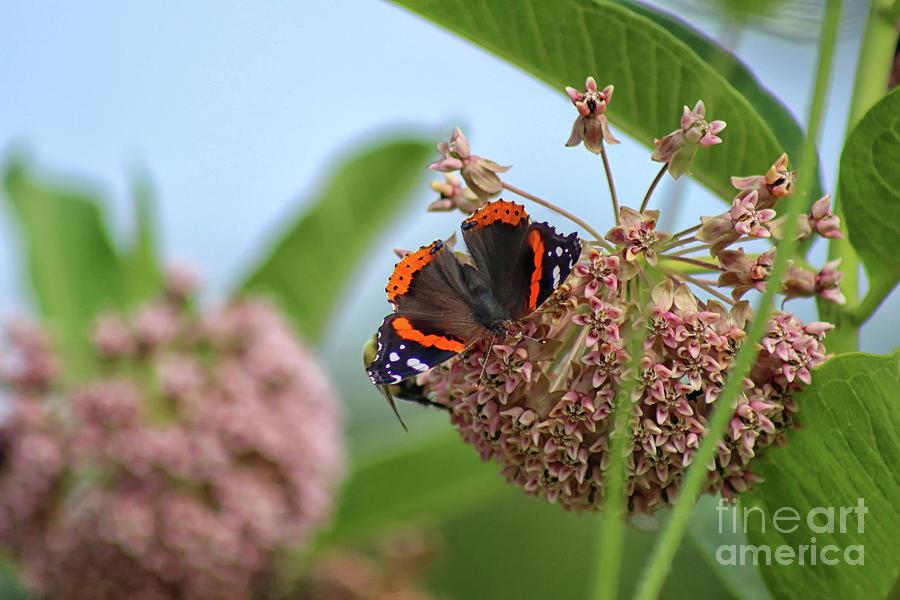 Red Admiral Butterfly on Milkweed by Karen Adams