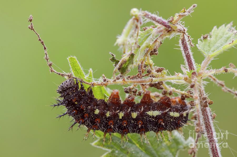 Arthropod Photograph - Red Admiral Caterpillar by Heath Mcdonald/science Photo Library