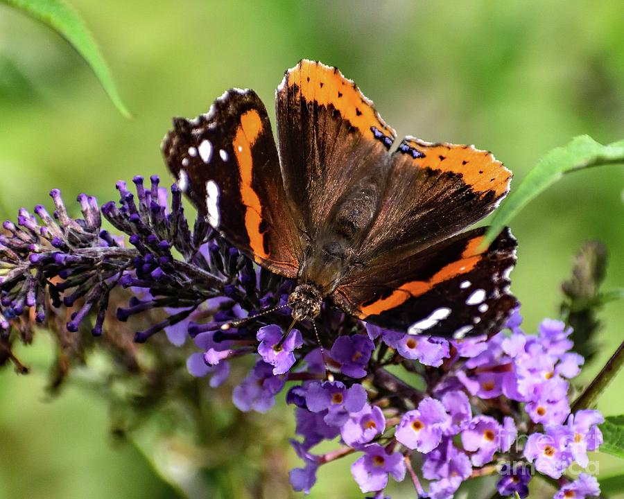 Red-admiral With Proboscis In Flower by Cindy Treger