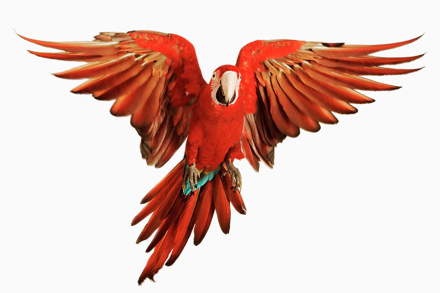Macaw Photograph - Red-and-green Macaw Ara Chloroptera by Martin Harvey