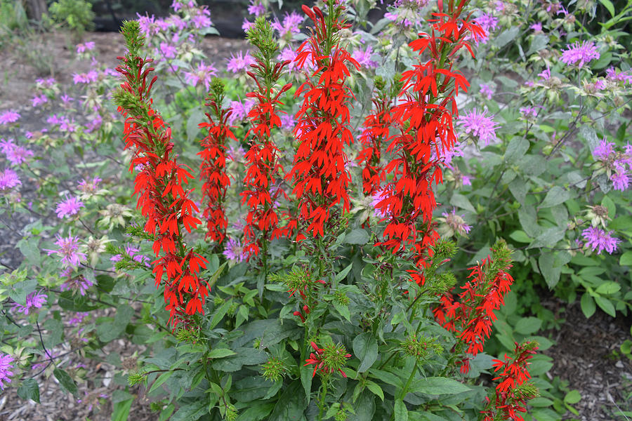 Red and Lavender Wildflowers by Aimee L Maher ALM GALLERY