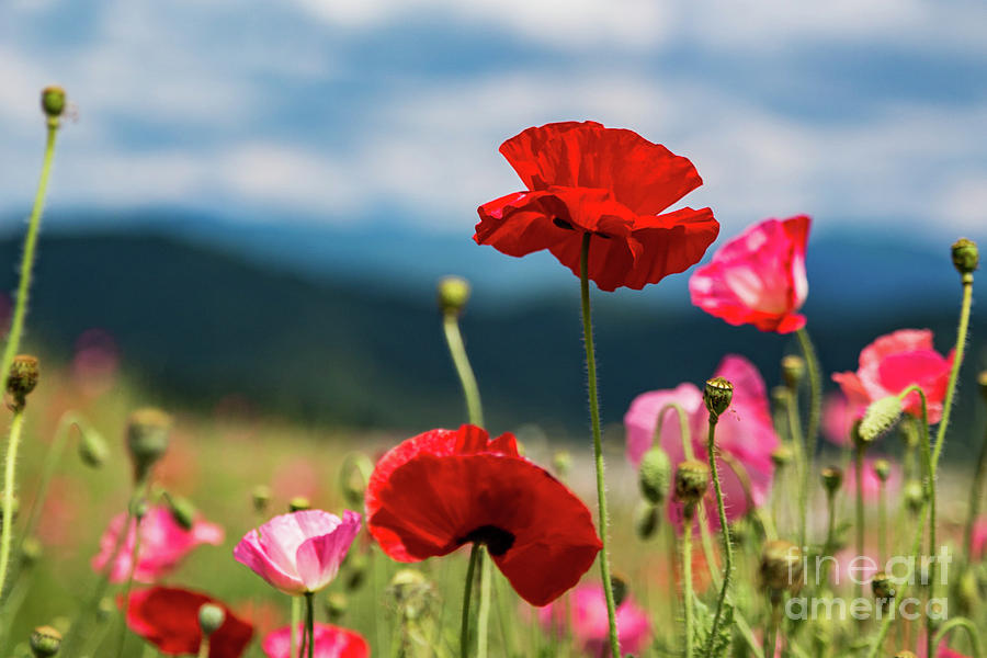 Red and Pink Poppies by Lisa Lemmons-Powers