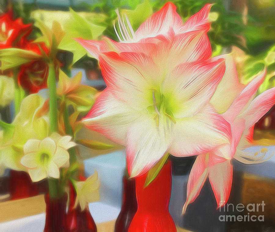 Red and White Amaryllis by Sue Melvin
