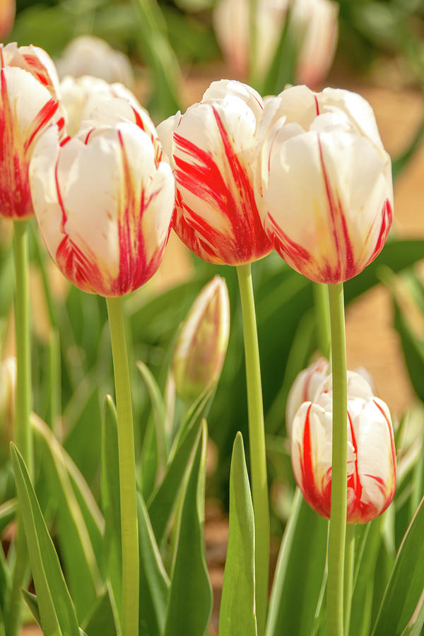 Red and White Beauties by Kristia Adams
