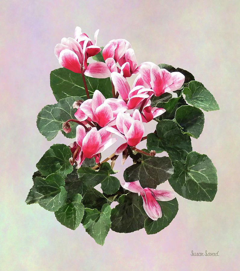 Red and White Cyclamen by Susan Savad