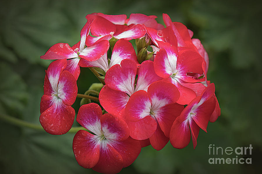 Red and White  Geranium by Elaine Teague