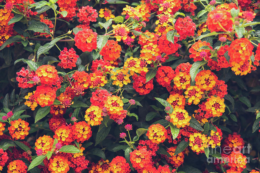 Red and yellow flowers on a bush, for background use with muted  by Joaquin Corbalan