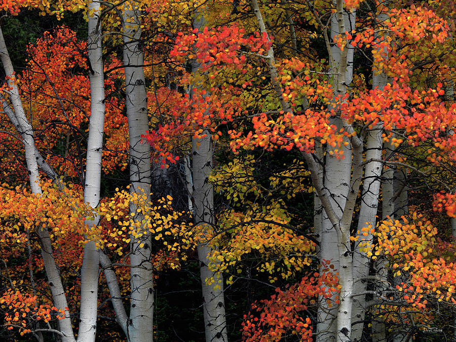Aspen Forest Photograph - Red And Yellow by Leland D Howard