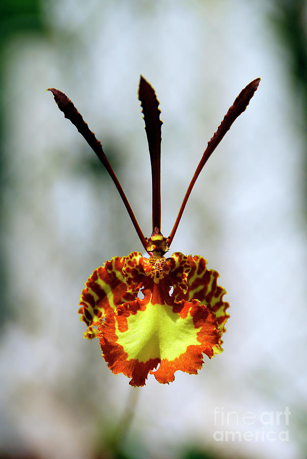 Red And Yellow Orchid With Defocused Background Photograph