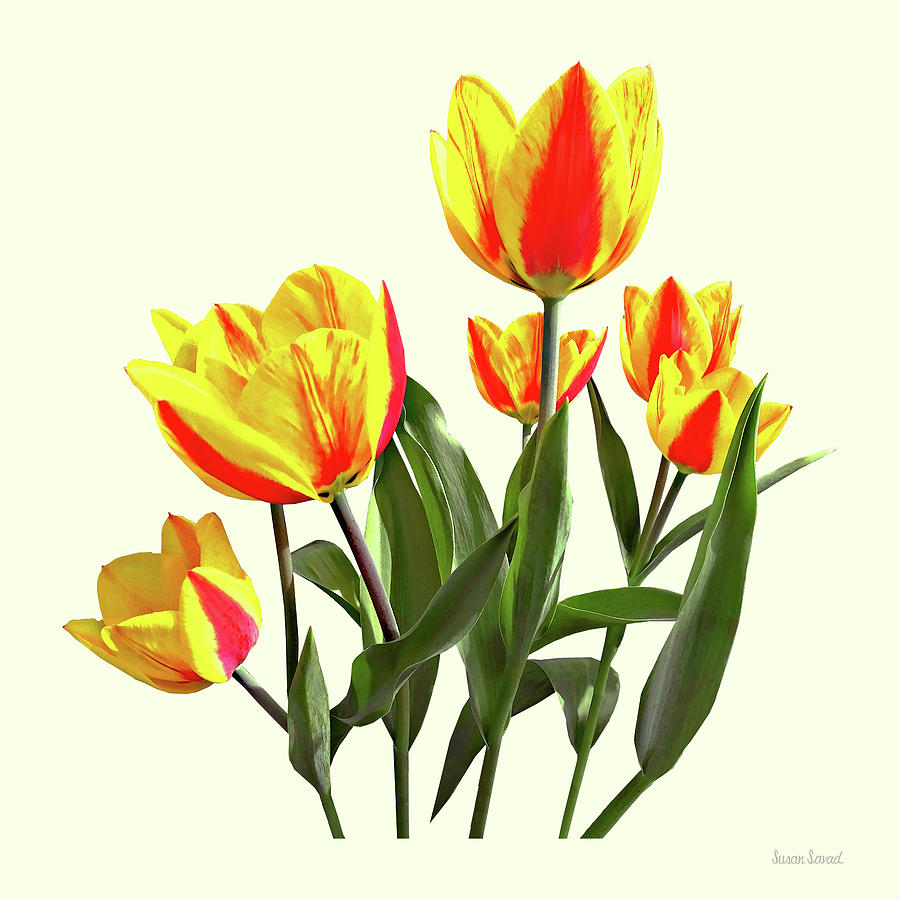 Red and Yellow Striped Tulips by Susan Savad