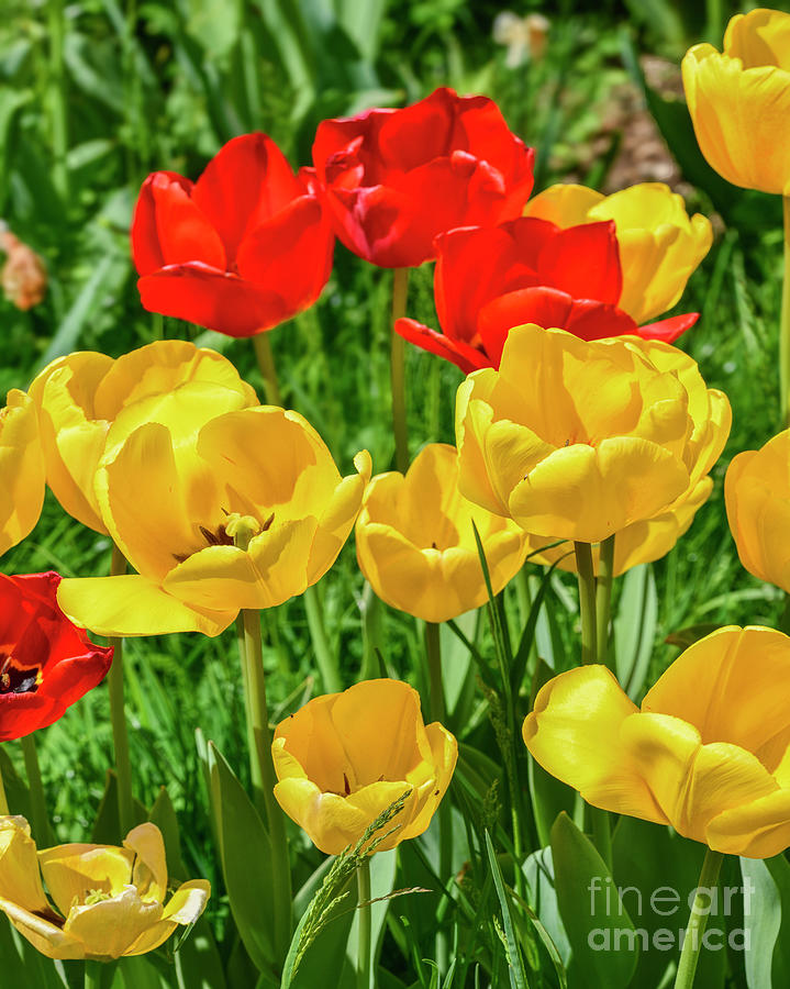 Red and Yellow Tulips by Norman Gabitzsch