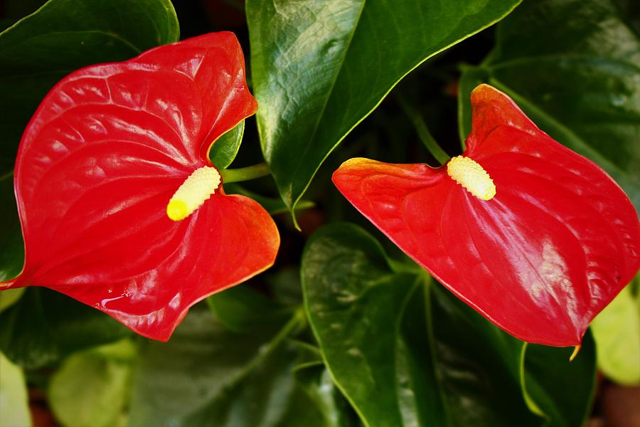 Red Anthuriums Fever  by Loretta S
