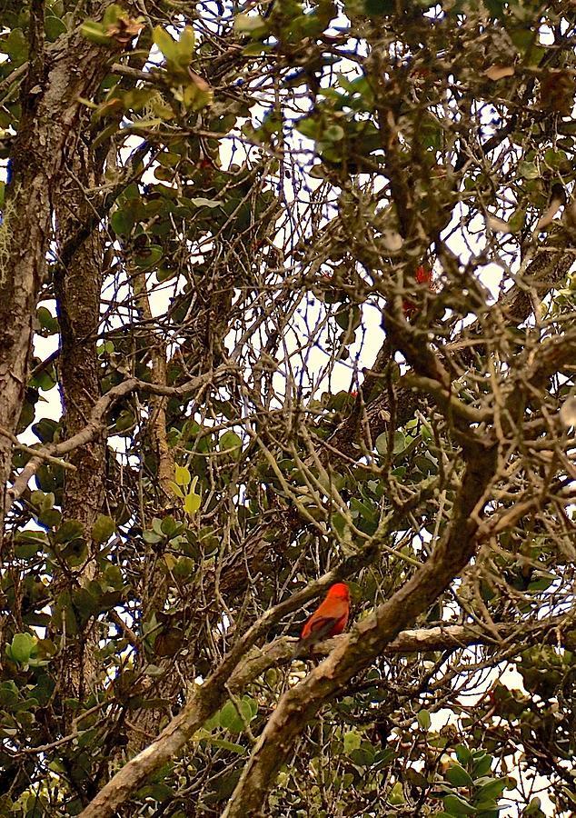 Red Apapane In ohia lehua rainforest by Lehua Pekelo-Stearns