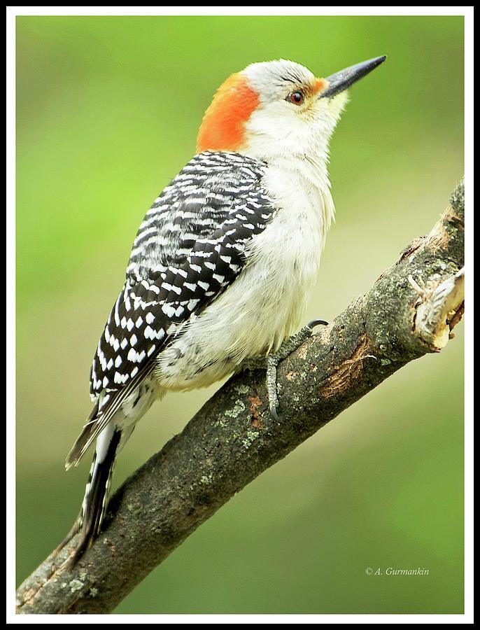 Red Bellied Woodpecker, Female on Tree Branch by A Gurmankin