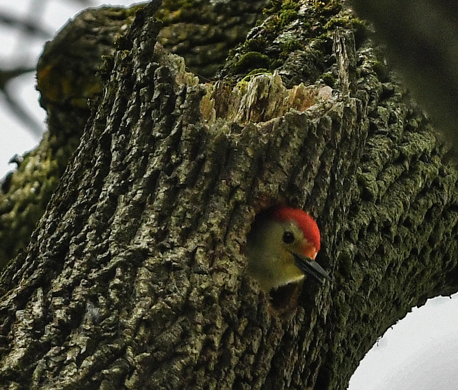 Red Bellied Woodpecker peek a boo by Hershey Art Images