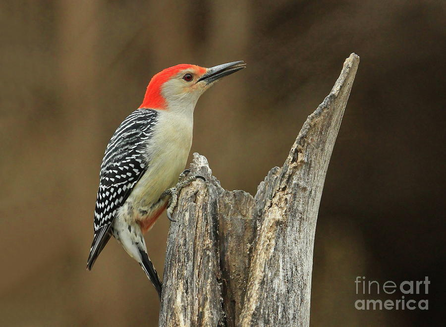Red-bellied Woodpecker Photograph - Red-belly At Stump by Gail Huddle
