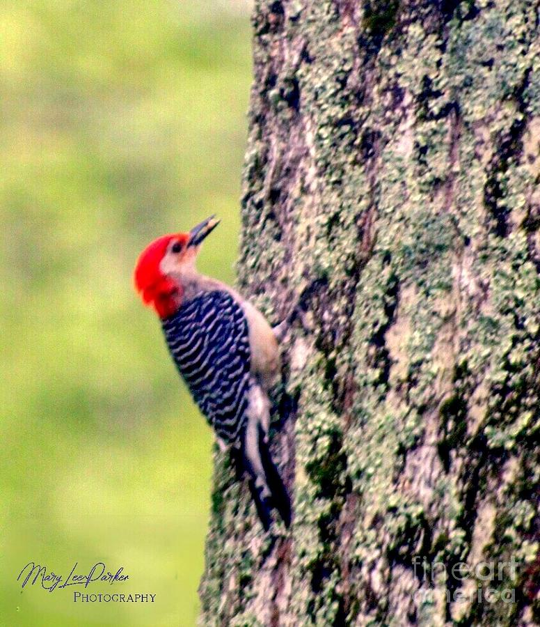 Red Belly Woodpecker  by MaryLee Parker