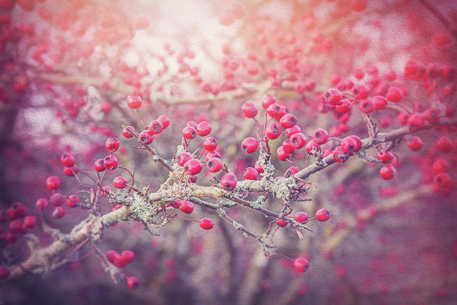 Red Berries Of Winter Photograph By Carol Japp