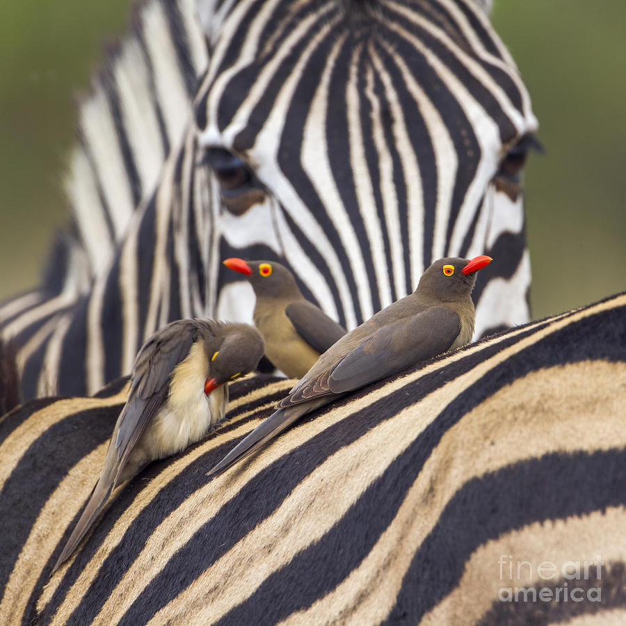 Southern Photograph - Red-billed Buffalo-weaver In Kruger by Paco Como