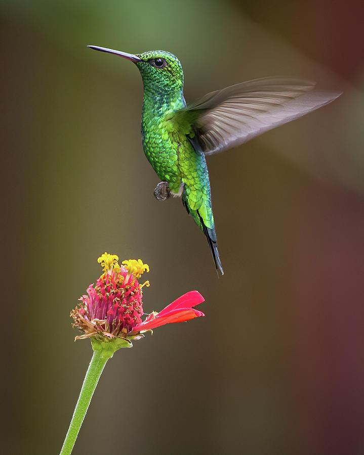 Red Billed Emerald Fincas Verdes San Antonio Tolima Colombia by Adam Rainoff