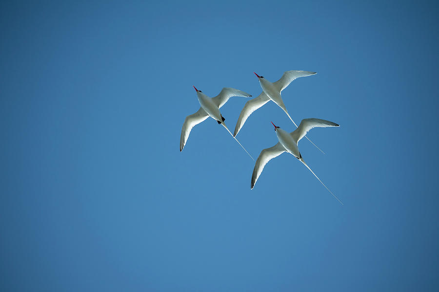 Red-billed Tropicbird Trio Flying Photograph by Tui De Roy