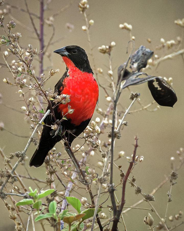 Red Breasted Meadowlark La Palmita Casanare Colombia by Adam Rainoff