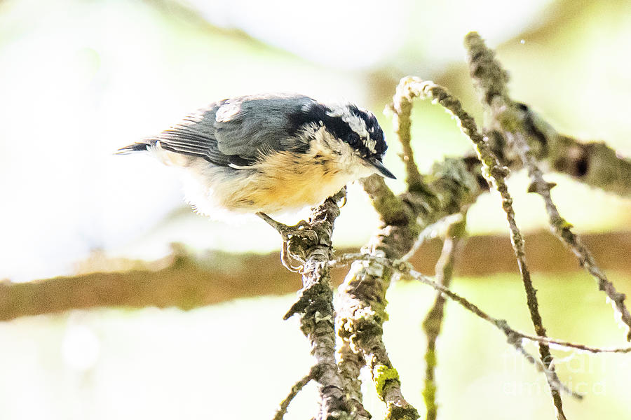 Red-Breasted Nuthatch by Michael D Miller