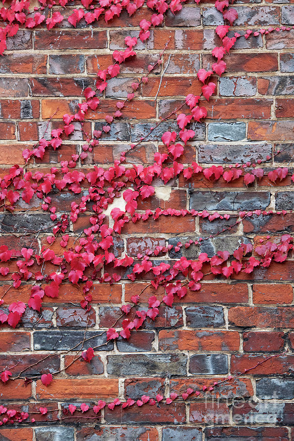 Red brick Wall with Boston Ivy Pattern by Tim Gainey