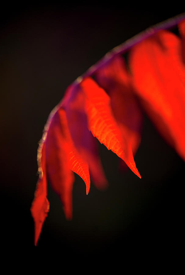 Red Bud Leaves, Cercis canadensis by Karen Rispin