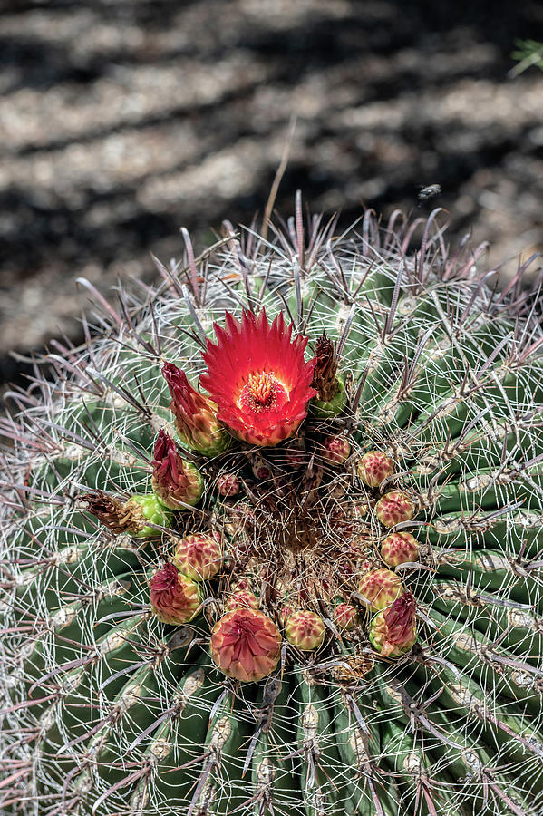 Red Cactus Flower by Douglas Killourie